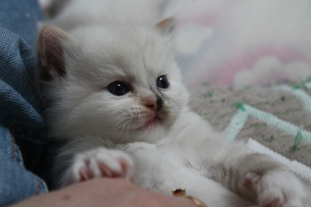 seal tortie point mitted split face