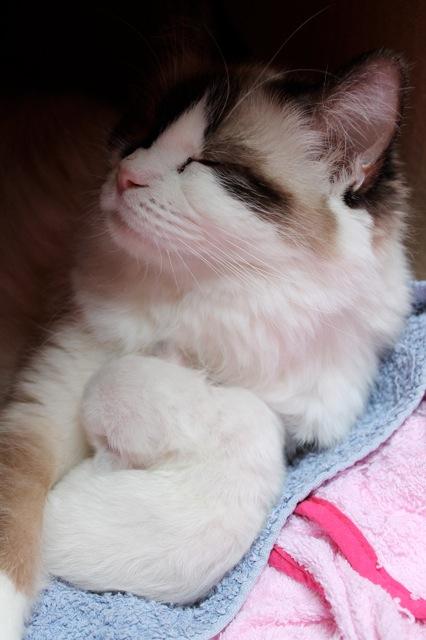Maman ragdoll