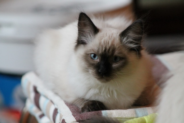 Isatys de l`Ulyssiade chaton ragdoll seal point