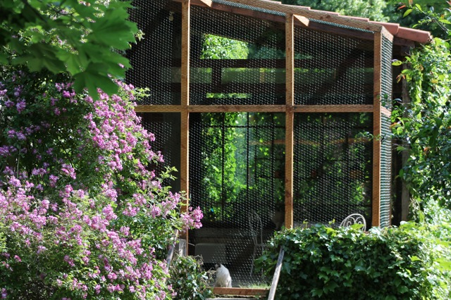 chatterie ragdoll terrasse chaton ragdolls