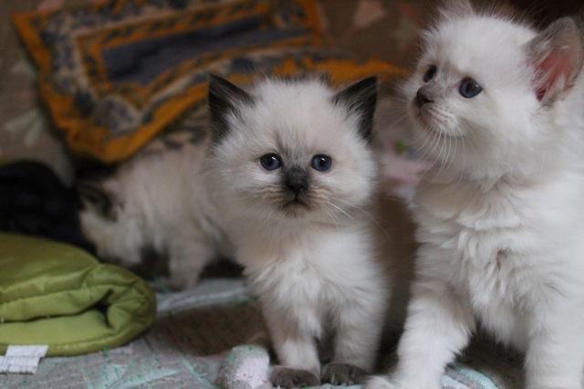 portée d`Escale chatons ragdolls
