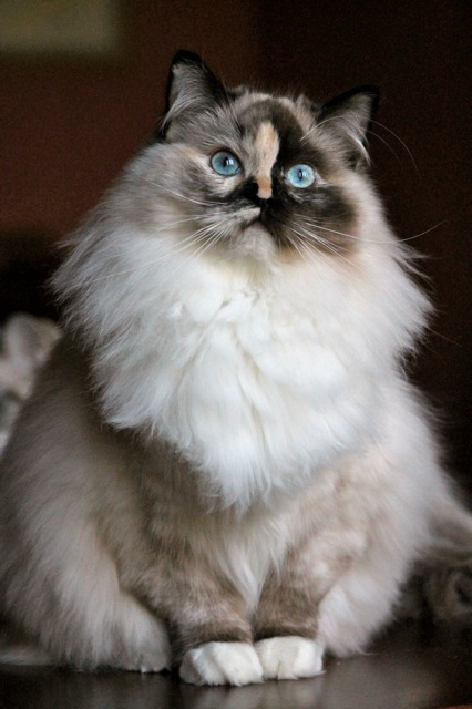 Maybe Wonka de l`Ulyssiade, ragdoll seal tortie point mitted