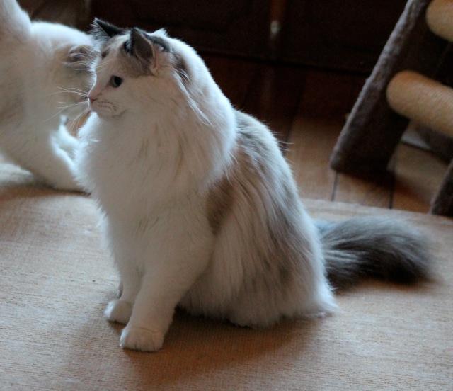 Genesis de l`Ulyssaide chaton ragdoll 7 mois