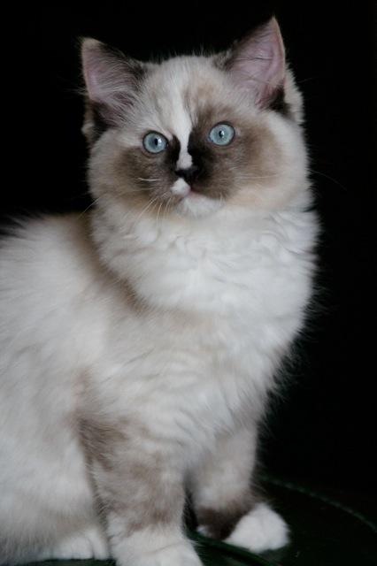 Lila chaton ragdoll de l`Ulyssiade