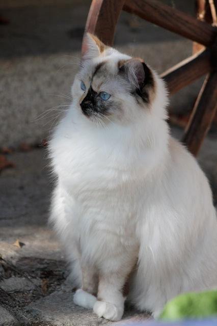 Jyothika de l`Ulyssiade, chaton ragdoll seal tortie mitted