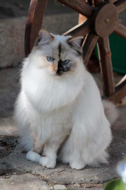 Jyothika de l`Ulyssiade, chaton ragdoll seal tortie mitted, 10 mois
