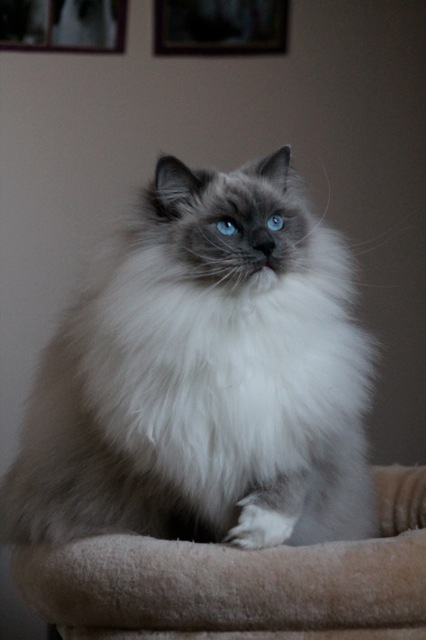 Skye ragdoll blue point mitted