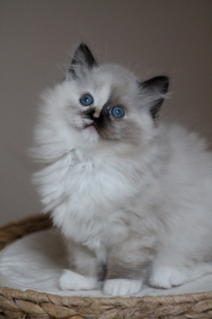 Maybe Wonka ragdoll seal tortie mitted