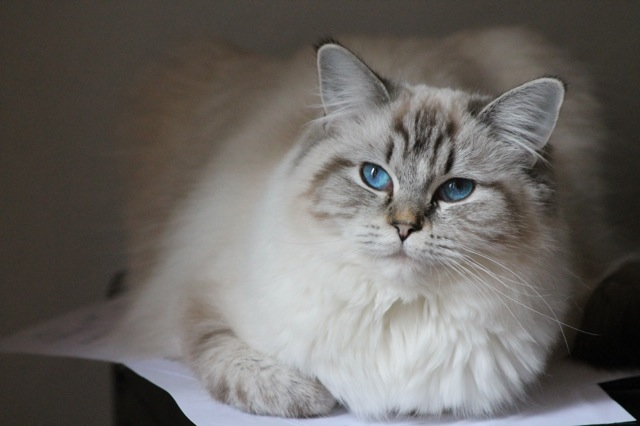 Makhéa ragdoll seal tortie point mitted