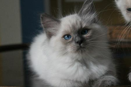 NYPD Blue ragdoll bleu point